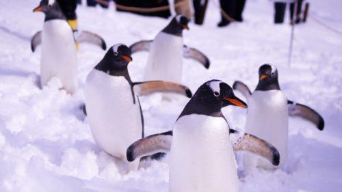 ジェンツーペンギン(37番)がいる水族館はどこ?画像や動画とぬいぐるみも